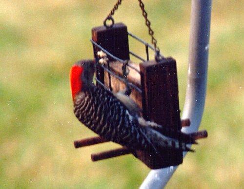 Common backyard bird list